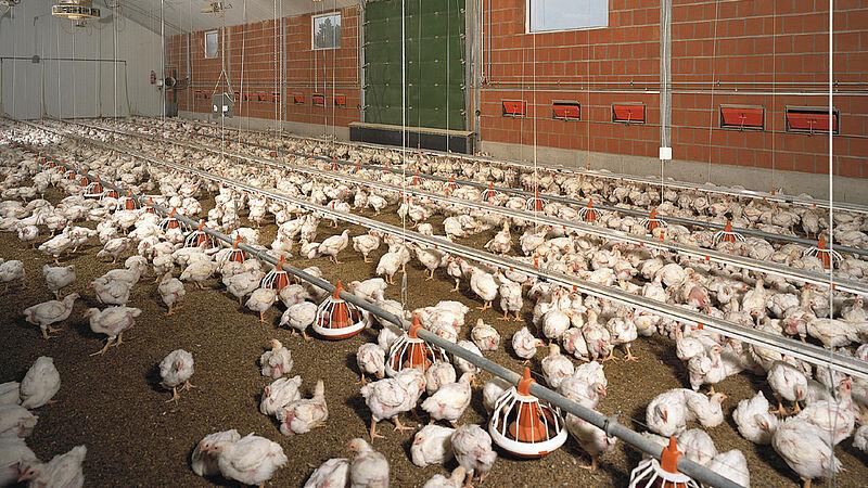 Produkcja mięsa / Wyposażenie kurnika
