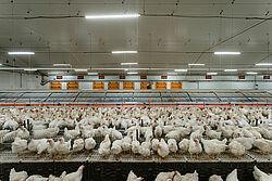 Kurnik produkcyjny dla stad rodzicielskich brojlerów z gniazdami grupowymi i kurami.