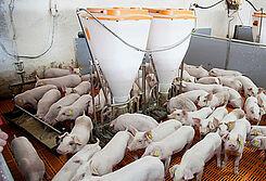Porco Bello: Wyposażenie chlewni i systemy żywienia dla trzody chlewnej