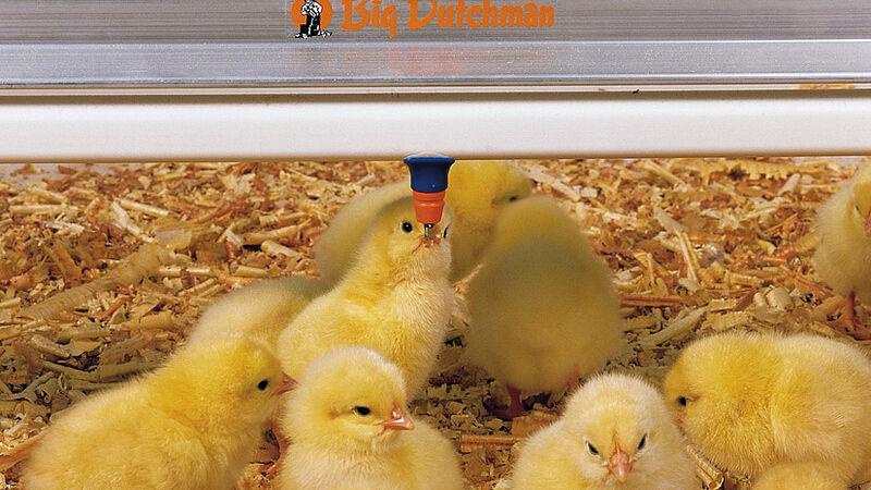 Tucz drobiu: kurczaki korzystają ze smoczków SaniStar firmy Big Dutchman