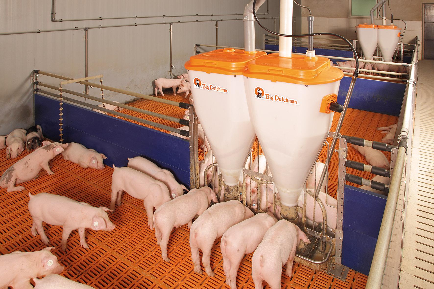 Как в домашних условиях выращивать свиней в домашних условиях